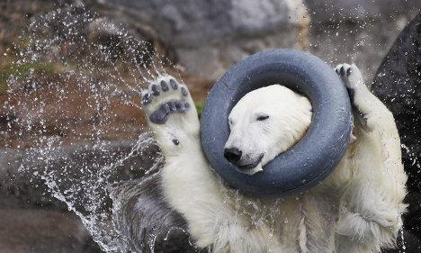 Как отдыхает крупнейший хищник на Земле: забавы белых медведей