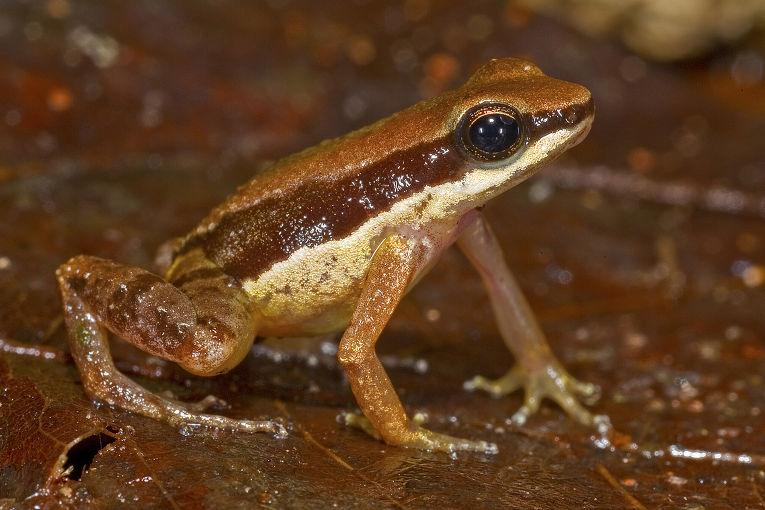 Лягушка Allobates amissibilis