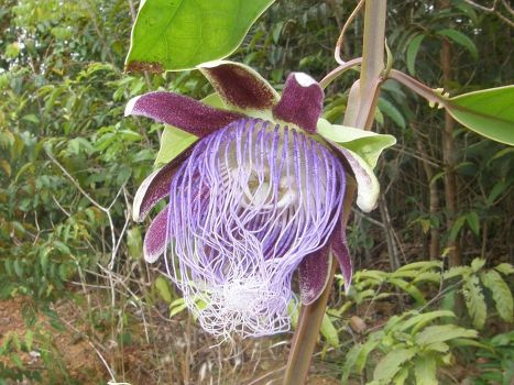 Страстоцвет Passiflora longifilamentosa