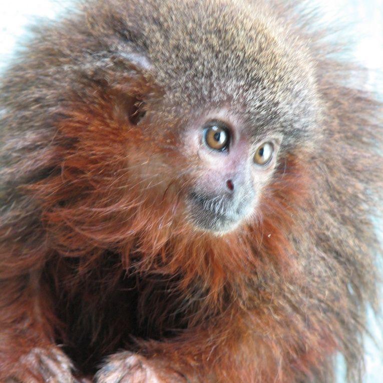 «Мурыкающая» обезьянка (Callicebus caquetensis)