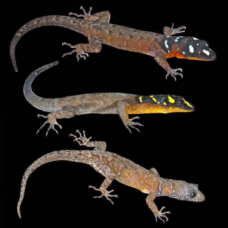 Ящерица Gonatodes timidus