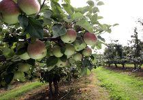 Яблоневый сад в Польше