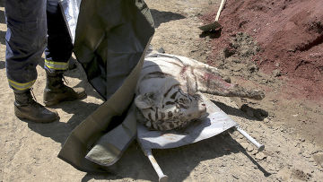 Тигр, сбежавший из зоопарка в Тбилиси и загрызший человека