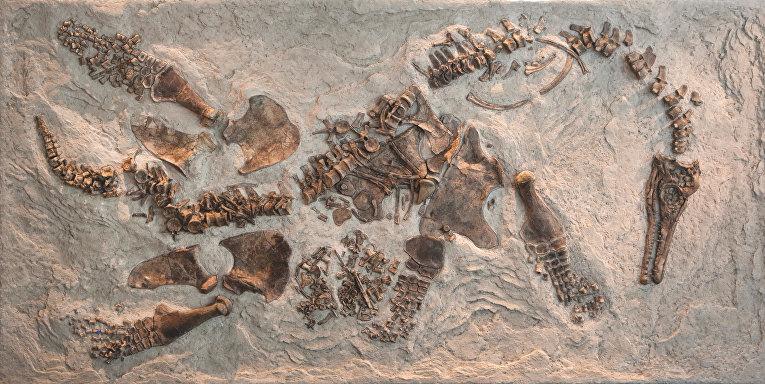 Скелет плезиозавра Polycotylus latippinus