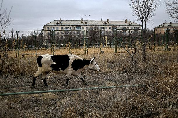 Корова в городе Байконур в Казахстане