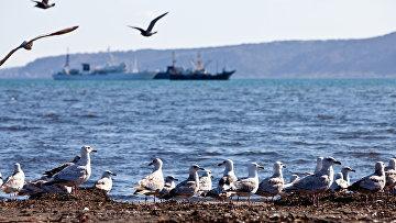 Чайки на берегу Южно-Курильского залива на острове Кунашир