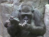 Новорожденный детеныш гориллы в Московском зоопарке
