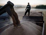 Уборка пшеницы в Омской области