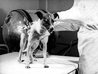 Собака Лайка перед полетом