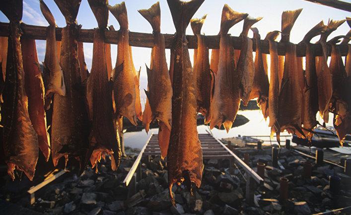Заготовка рыбы в Норвегии