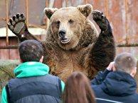 Бурый медведь в зоопарке города Калининграда