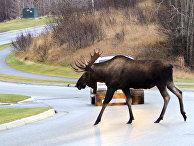 Автомобилист пропускает лося на дороге в Анкоридже, Аляска