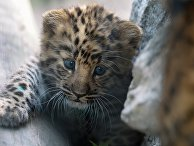 Детеныш дальневосточного леопарда