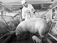 Сотрудник селекционно-гибридного центра осматривает свинью и поросенка