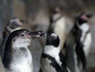 Пингвин гумбольта в Московском зоопарке