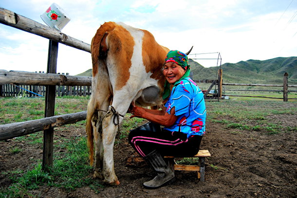 Жительница Тувы доит корову