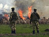 Сотрудники службы охраны дикой природы Кении сжигают контробандные запасы слоновьих бивней в национальном парке Найроби