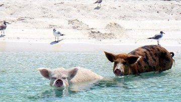 Свиньи заходят в море у побережья Багамских островов