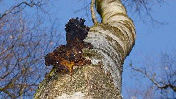 Березовый гриб Чага