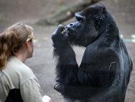 Самец гориллы в зоопарке Ростока, Германия