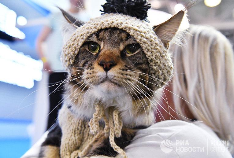 Кошка породы мейн-кун в вязаной шапке