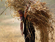 Сбор урожая пшеницы недалеко от города Хамурия на окраине Дамаска