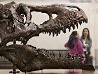 Череп тираннозавра в музее естественной истории в Вашингтоне