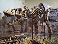 Скелет тираннозавра в музее естественной истории в Питтсбурге