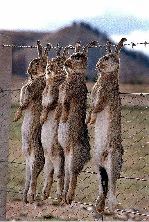 Новая Зеландия: Стреляют зайцев