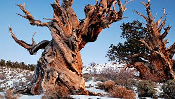 Pinus longaeva, Сосна остистая межгорная