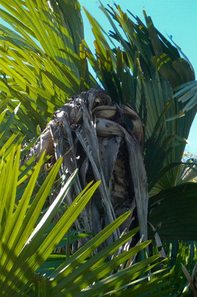 Tahina spectabilis, Пальма-самоубийца