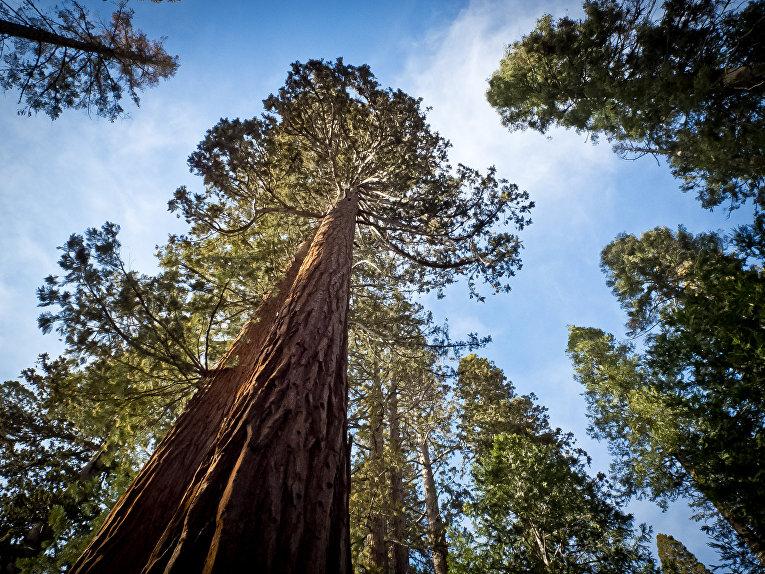 Sequoiadendron giganteum, Секвойя гигантская