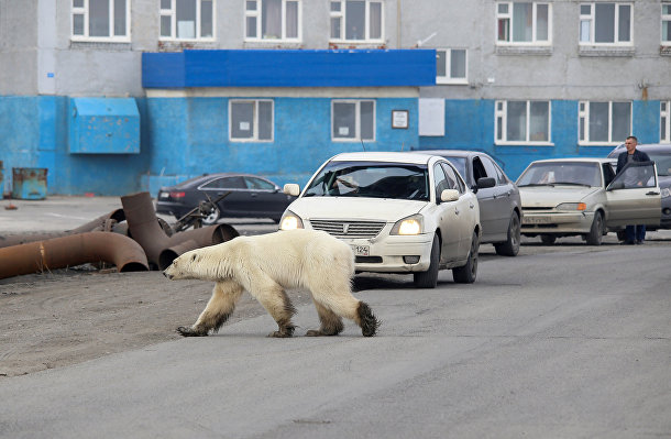 Белый медведь на улице Норильска