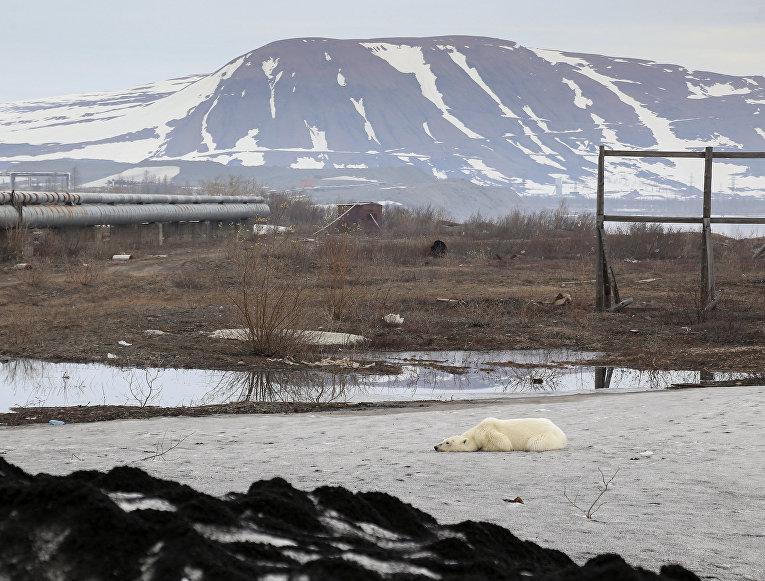Белый медведь в окрестностях Норильска