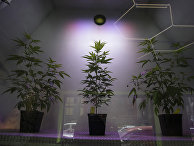 Выращивание каннабиса