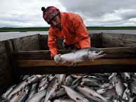 """Сотрудник рыболовецкой артели """"Народы севера"""" перегружает выловленного лосося из невода в грузовик"""