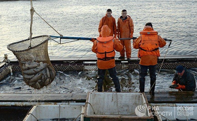 Массовый лов красной рыбы в России