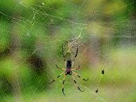 Пальмовый паук на острове Ла Диг (Республика Сейшельские острова)
