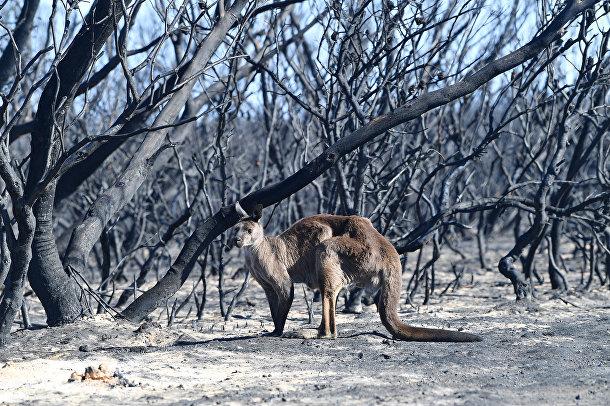 Кенгуру в национальном парке Флиндерс-Чейз в Австралии