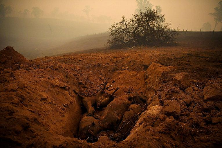 Крупный рогатый скот, погибший в результате лесных пожаров в Кобарго, Австралия