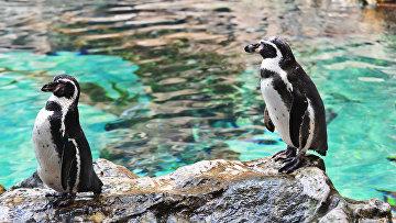 Самец и самка пингвинов Гумбольдта в пингвинарии Лоро Парка (Loro Parque) на Тенерифе (Tenerife).