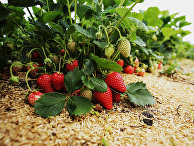 Выращивание клубники в Краснодарском крае