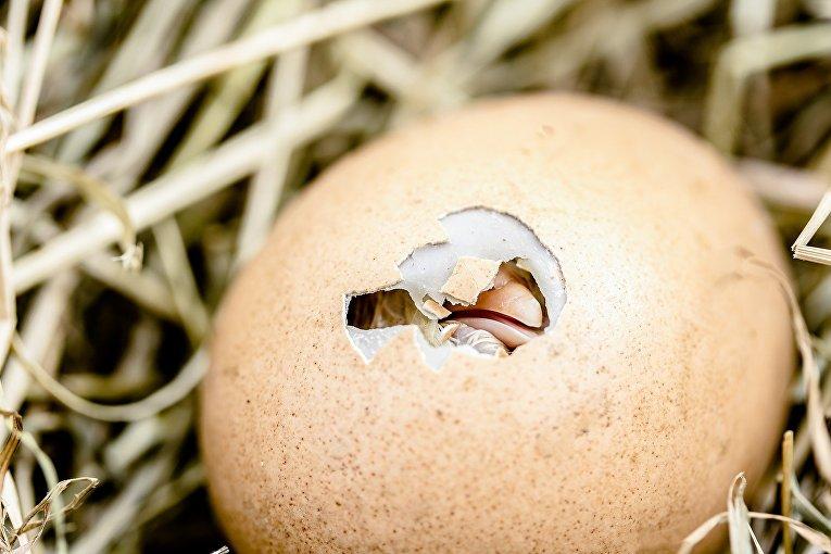 Птенец вылупляется из яйца