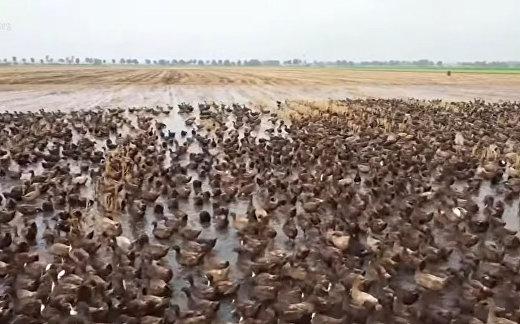 Тысячи уток выпущены на защиту тайских рисовых полей от вредителей