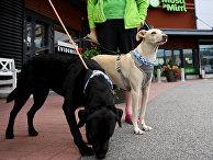 Собаки Миика и Титта, определяющие наличие covid-19 у пассажиров в аэропорту Хельсинки, Финляндия
