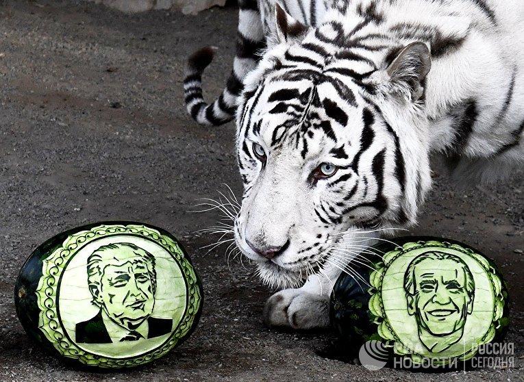 """Питомцы красноярского зоопарка """"Роев ручей"""" предсказали результаты выборов в США"""