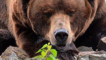 Камчатский бурый медведь
