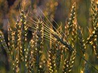 Пшеница на поле