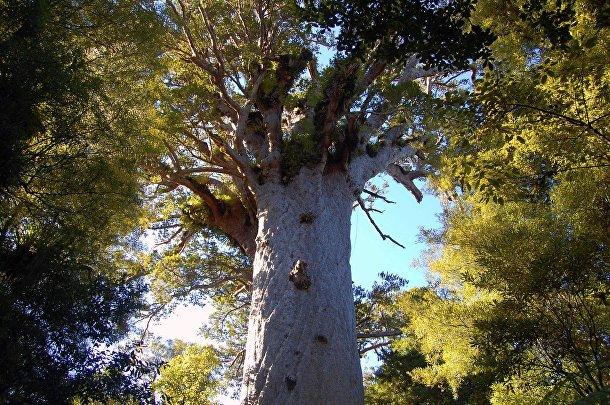 Лес Вайпуа, Новая Зеландия