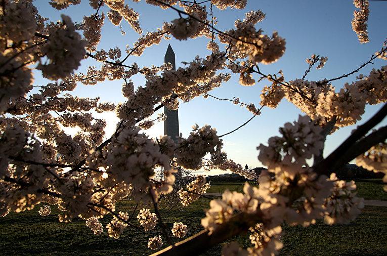 Монумент Вашингтону сквозь цветущие вишни в Вашингтоне